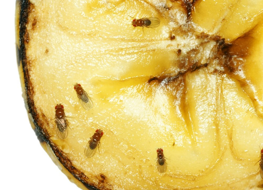 Fruit_flies_in_the_kitchen