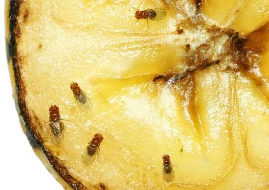Fruit flies in the kitchen