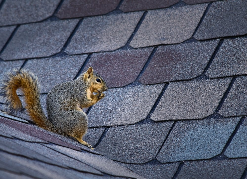 Squirrel on a roof