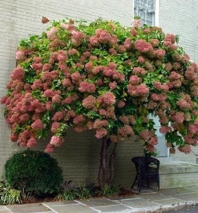 Hydrangeashydrangeas peegee tree rev