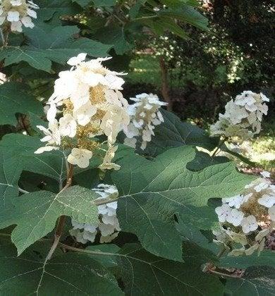 Davesgarden oakleaf hydrangea