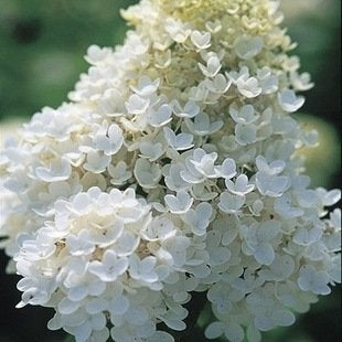 Panicle.finegardening