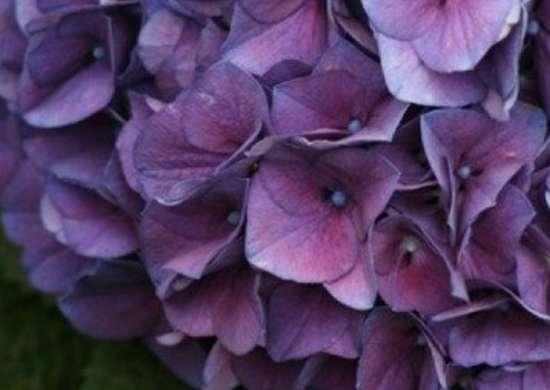 Greatplantpicks-mophead-hydrangea-macrophyllum-merrittssupreme-ras-09-2007-03-gpp