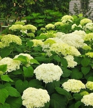 Annabelle.maine_botanical_gardens