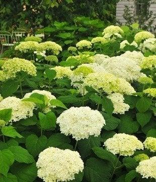 Annabelle.maine botanical gardens
