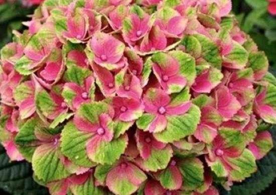 Whiteflowerfarm everlastingamythyst hydrangea