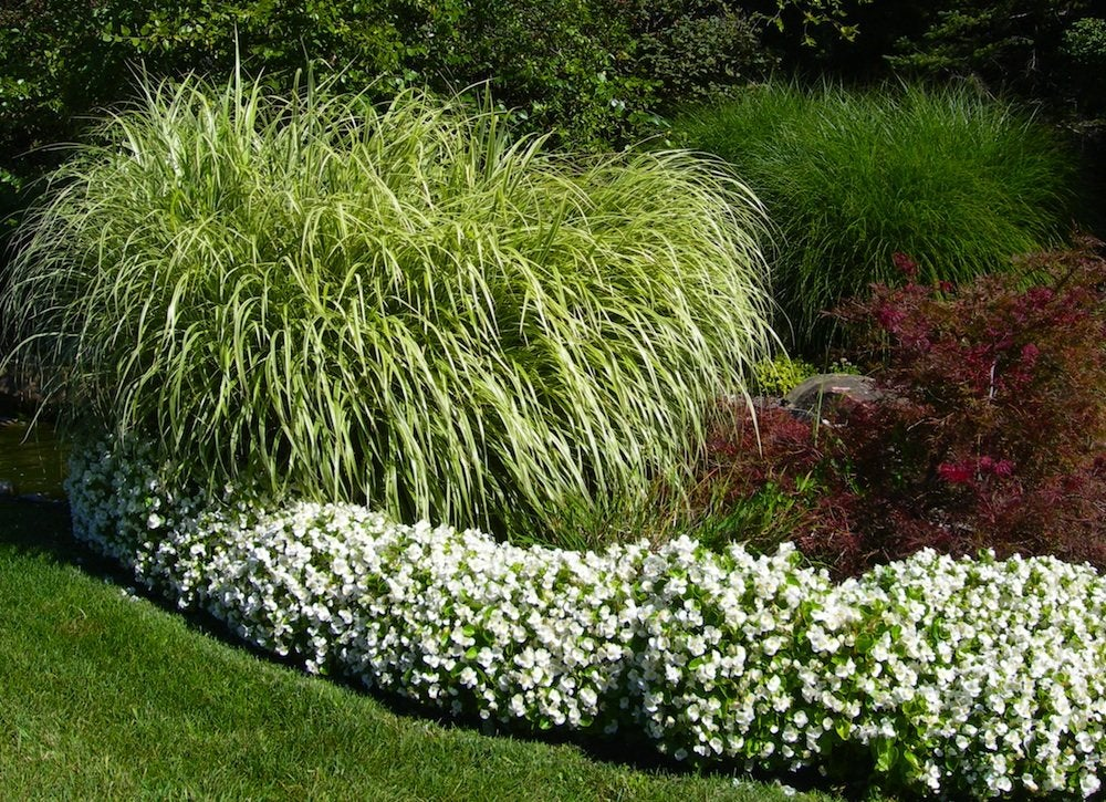 Trim ornamental grass yard clean up 9 tricks for for Fast growing ornamental grass