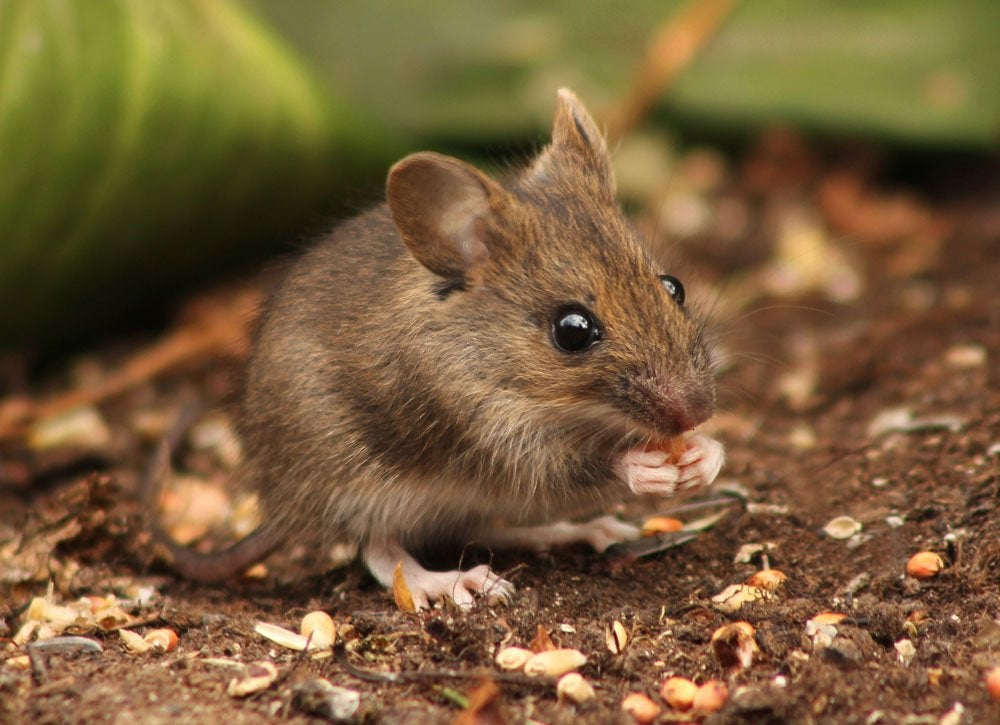Uses for old tea bags   repel rodents