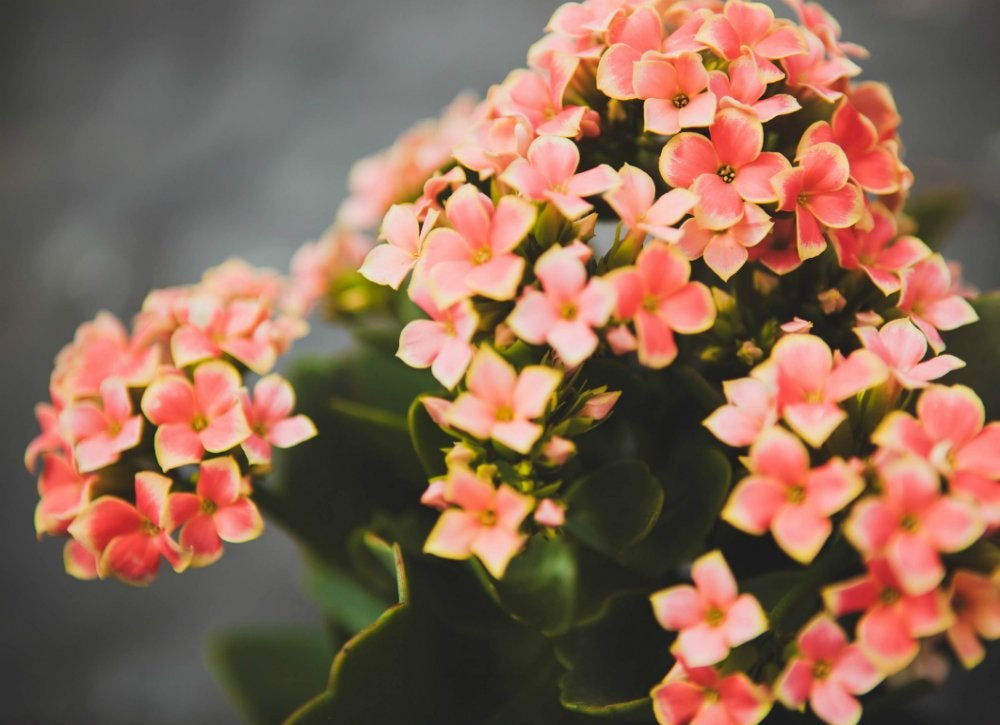 Houseplants kalanchoe