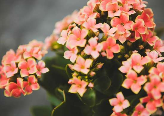 Houseplants-kalanchoe