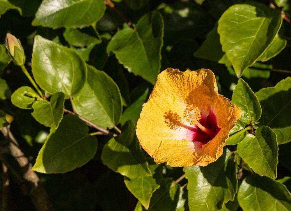 Houseplants hibiscus
