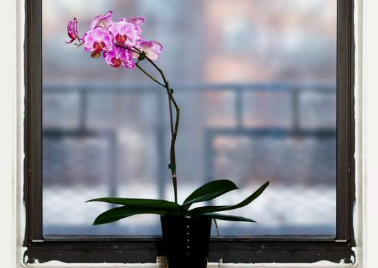Houseplants orchid