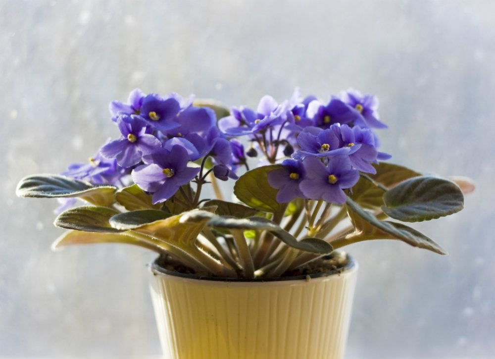 Houseplants-african-violet