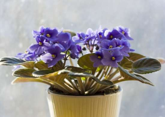 Houseplants african violet