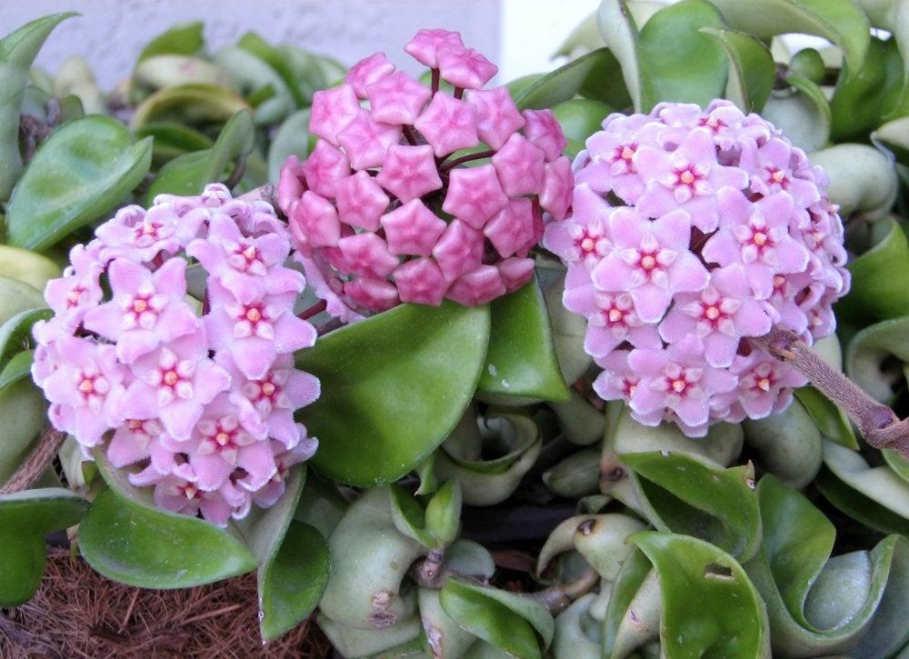 Houseplants hoya