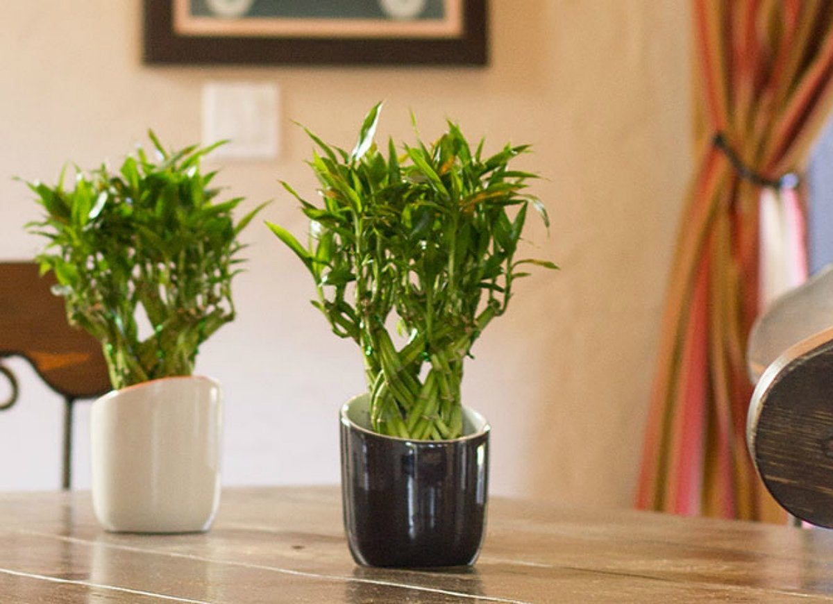 Houseplants-bamboo