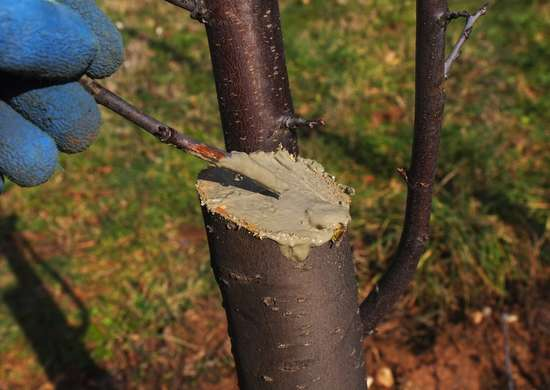 Protecting tree with pruning wax