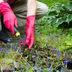 Divide and Replant Perennials
