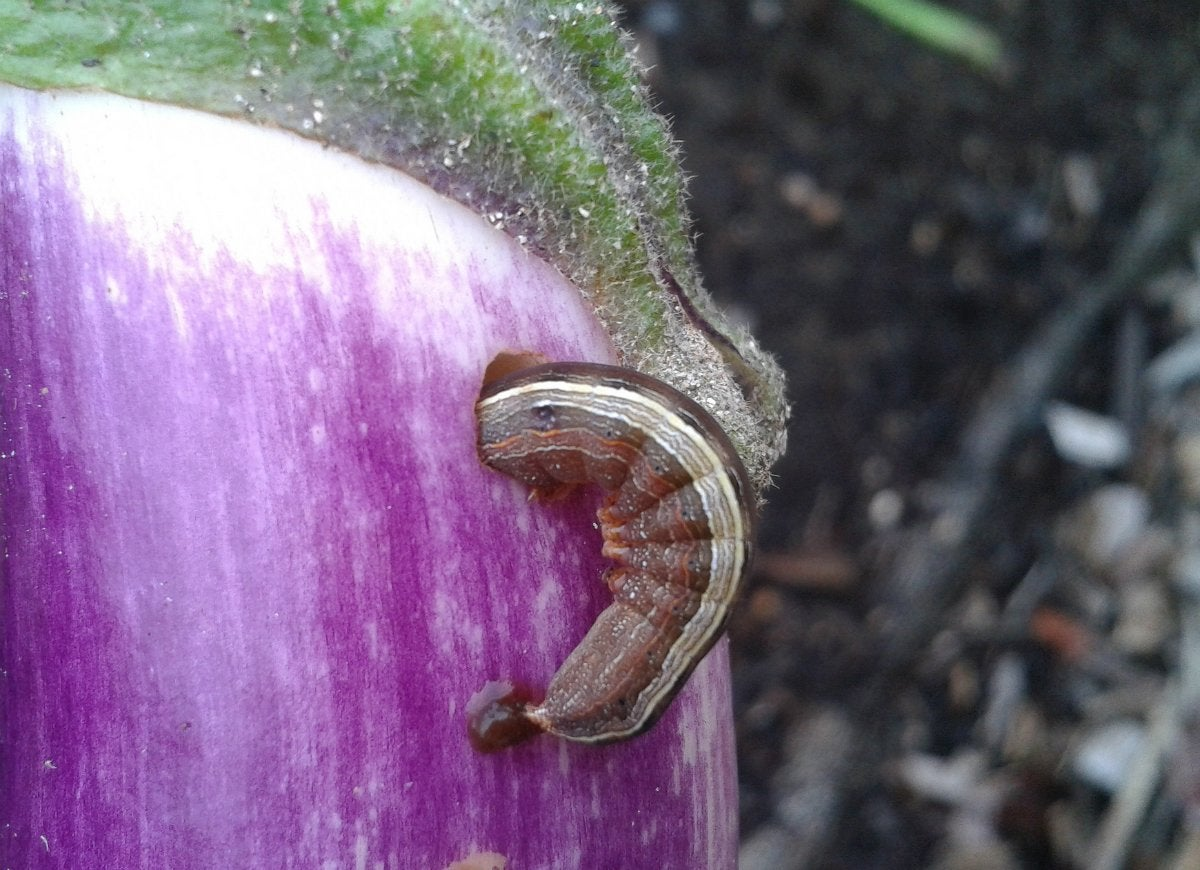 Keep cutworms out of your garden