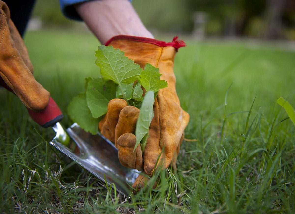Weeding_the_lawn