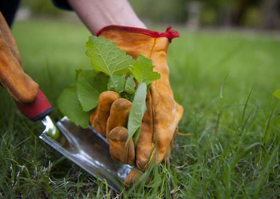 Weeding the lawn