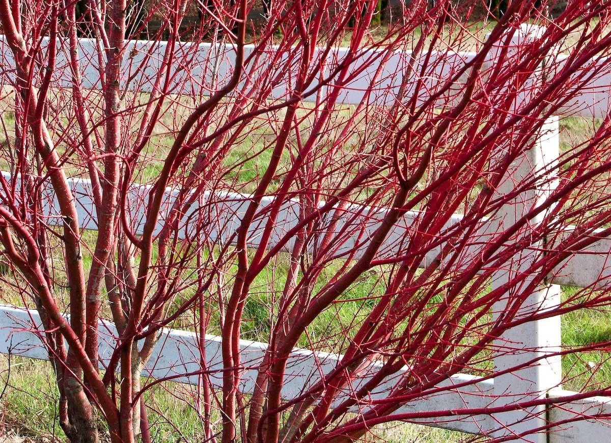 Backyard privacy 10 best plants to grow bob vila for Red twig dogwood