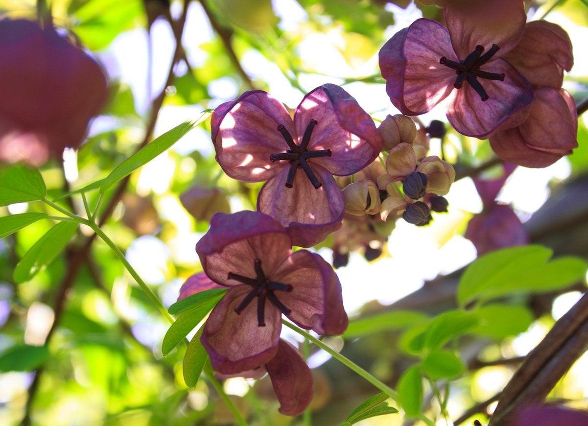 Chocolate Vine - Backyard Privacy: 10 Best Plants to Grow - Bob Vila