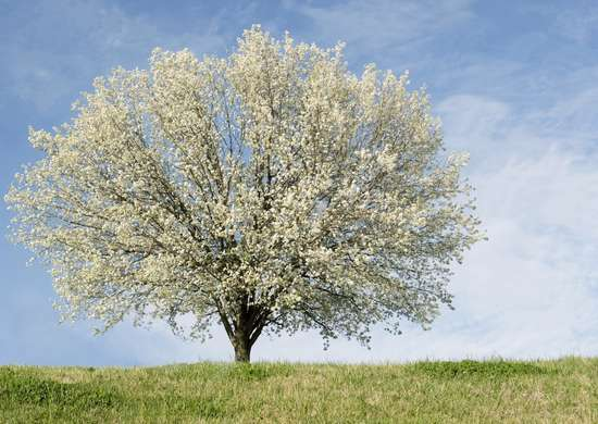 Bradford pear common garden plants 15 you shouldn 39 t Bradford pear