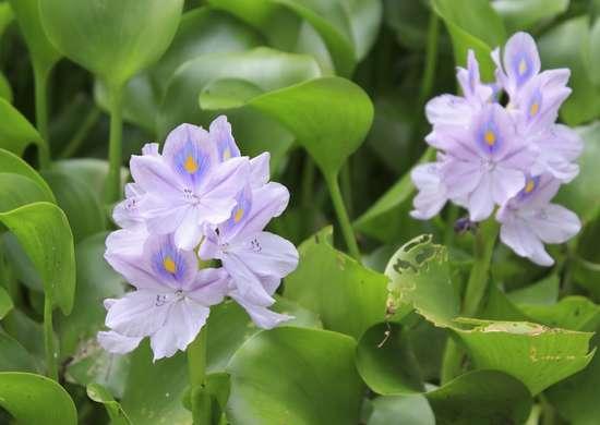 Water_hyacinth