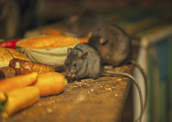Mice in food