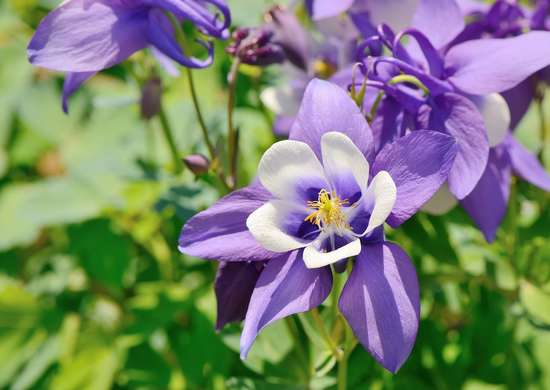 Columbine self cleaning flower