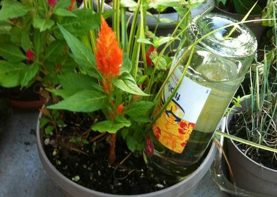 Use a Wine Bottle to Water Plants