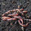 Attract Worms to Your Lawn and Garden