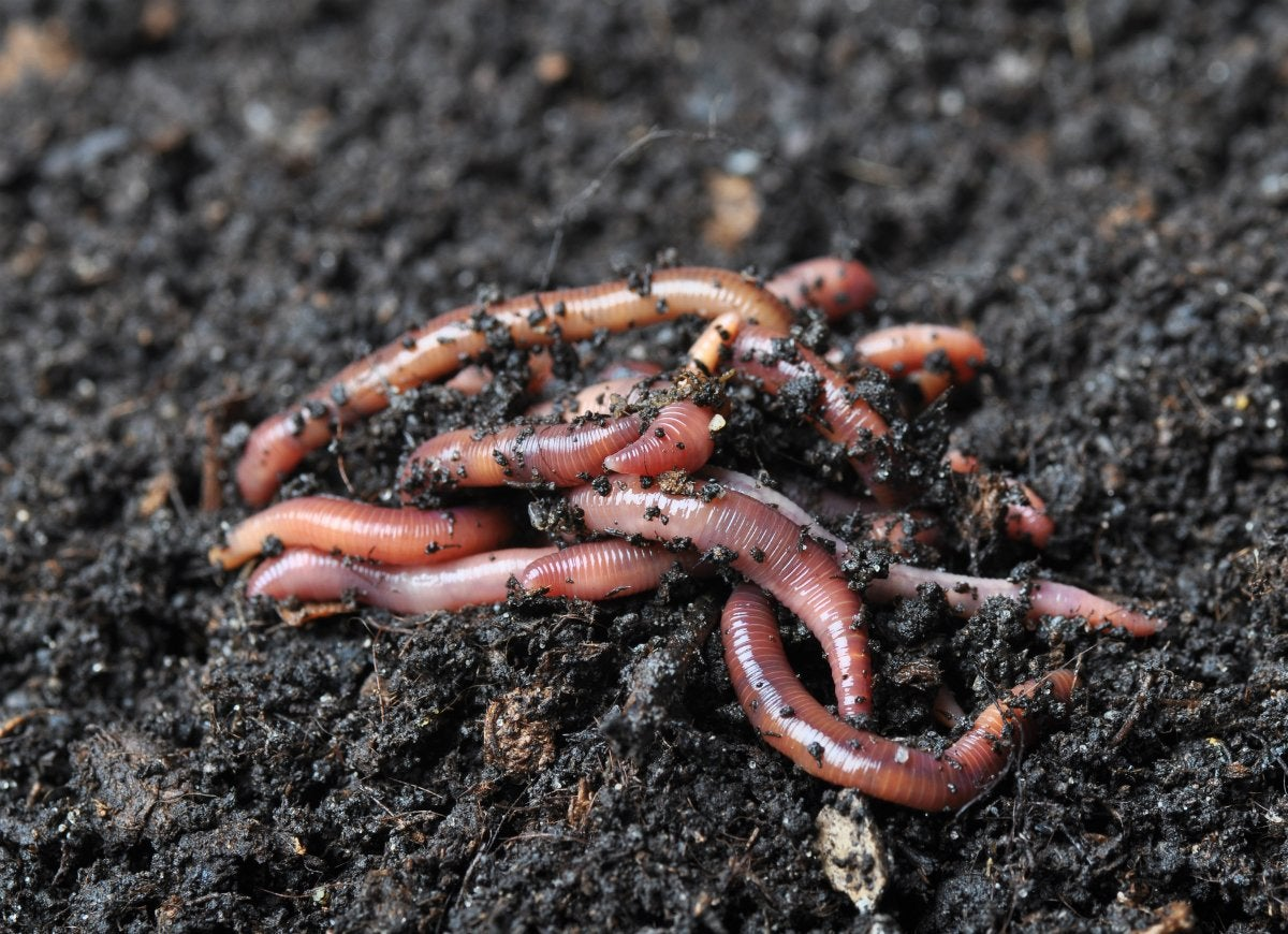 Attract worms to your yard