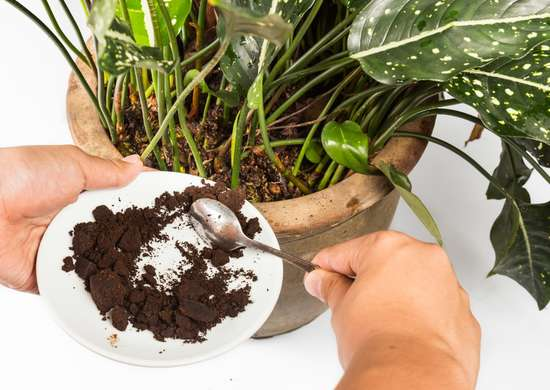 coffee grounds as fertilizer