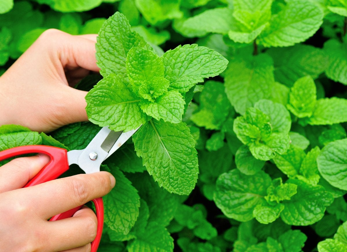 Cure-nausea-with-peppermint-plant