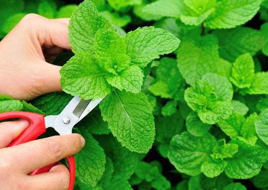 Cure nausea with peppermint plant