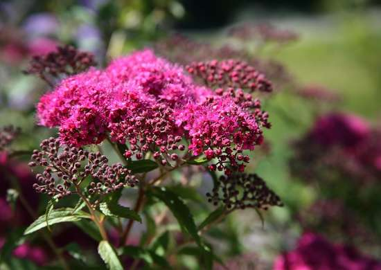 Yarrow plant leaves to stop bleeding