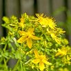 Treat Eczema with St. John's Wort Plant