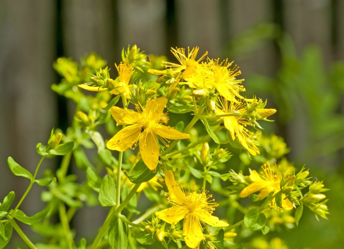 St johns wort plant eczema