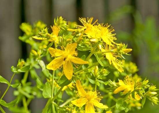 St-johns-wort-plant-eczema