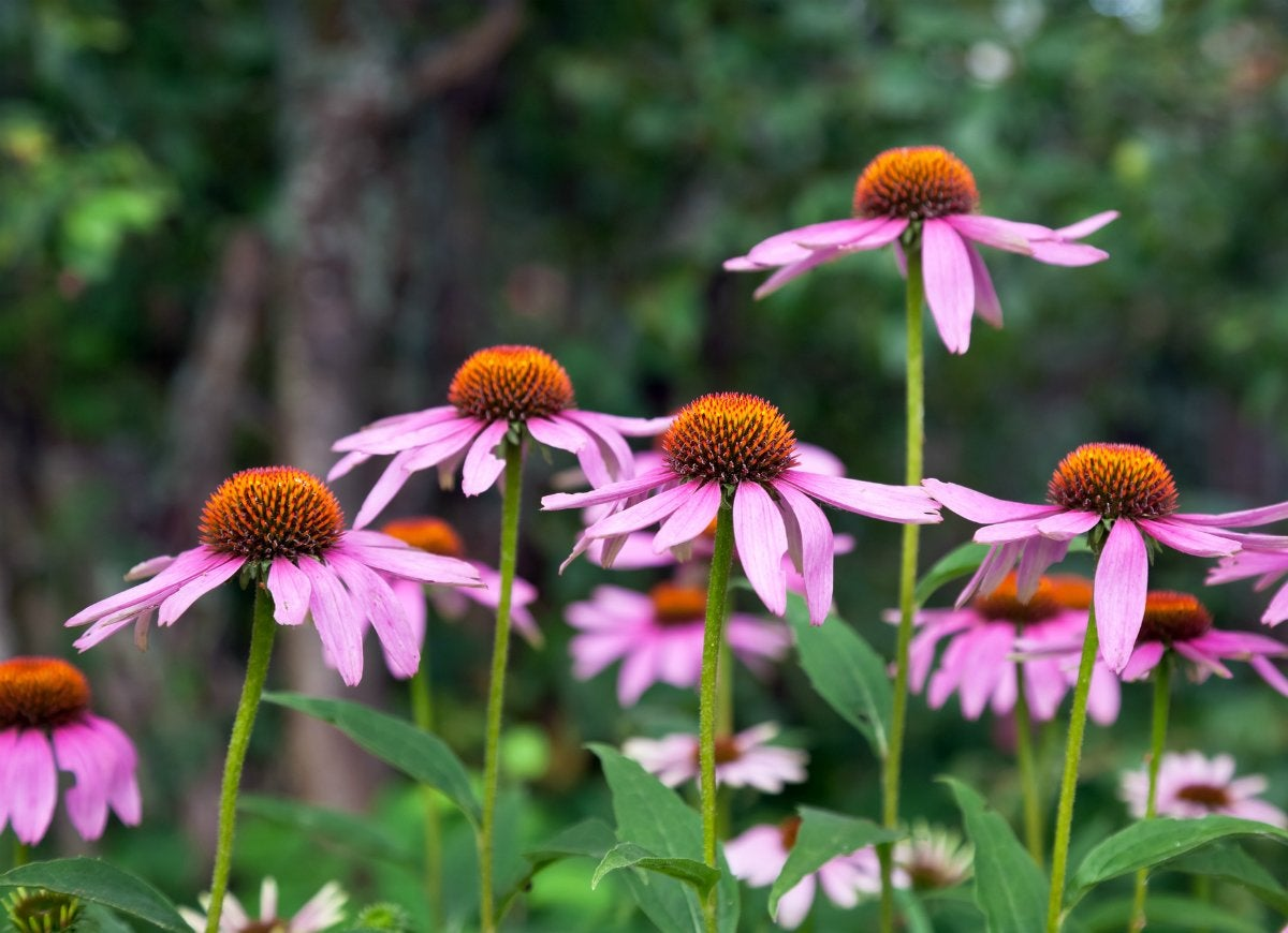 Echinacea plant cold cure