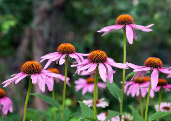 Echinacea-plant-cold-cure