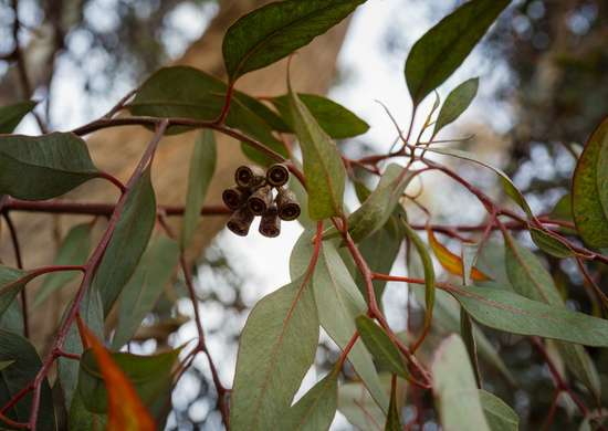 Clear sinuses with eucalyptus plant