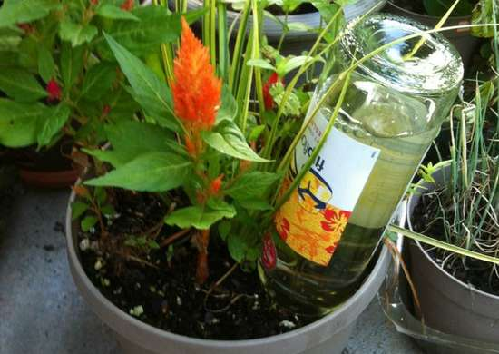 Diy self watering plant with wine bottle