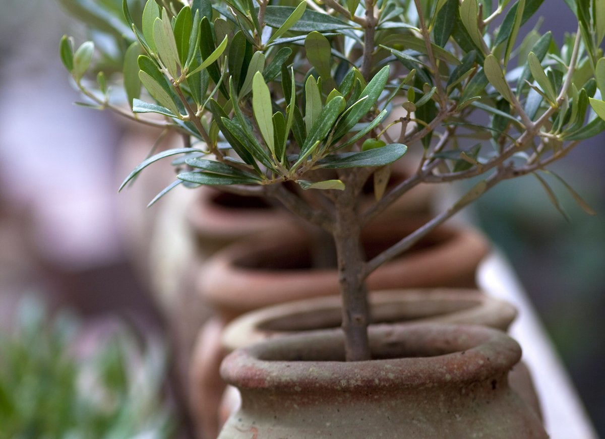 Indoor trees 7 you can grow bob vila for Growing olive tree indoors