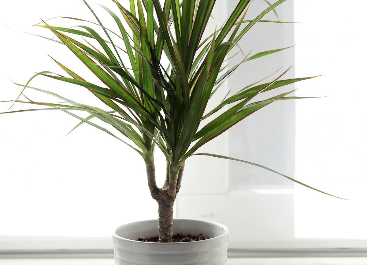 Dragon plant indoor tree