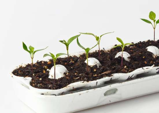 Plant Seeds in Egg Cartons