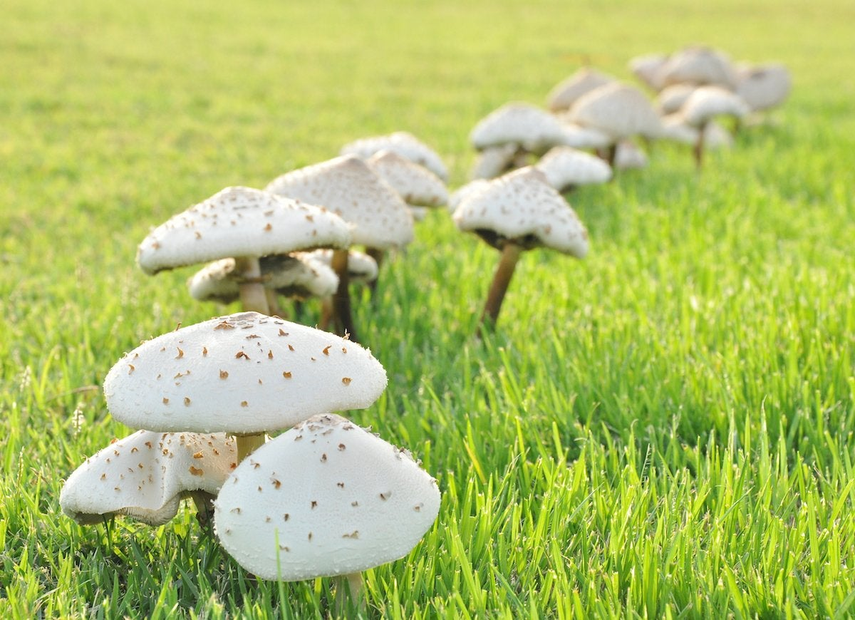 Mushrooms_in_the_lawn