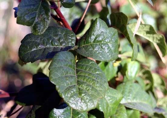 Posion oak leaves